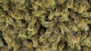Бурзянская пчела или королева леса